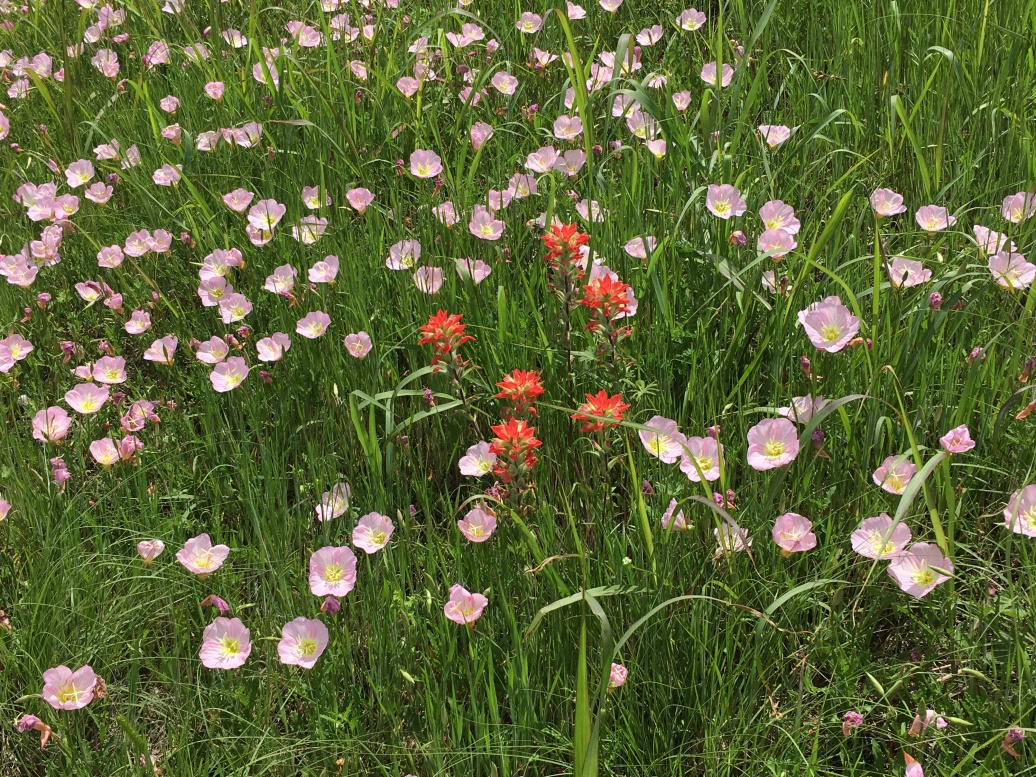Gorgeous Indian paintbrush & buttercups (?) along the Texas roadside
